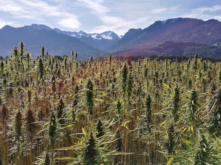 3 largest hemp fields in the world